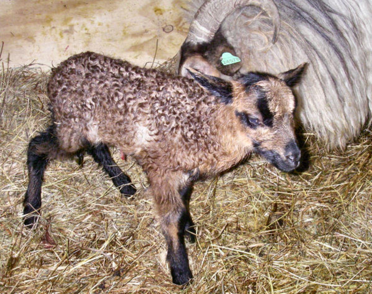 Badgerface colored newborn lamb