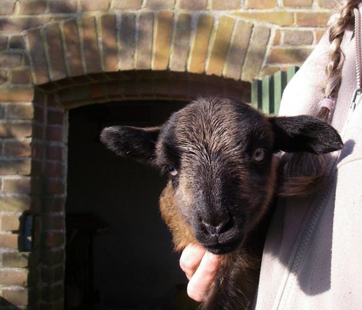 Newborn lamb in Badgerface color