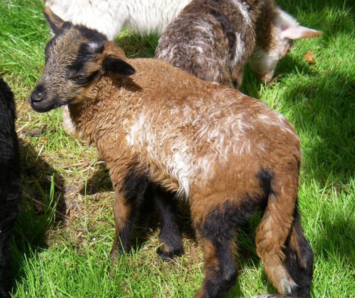 Lamb DrMark is growing fast