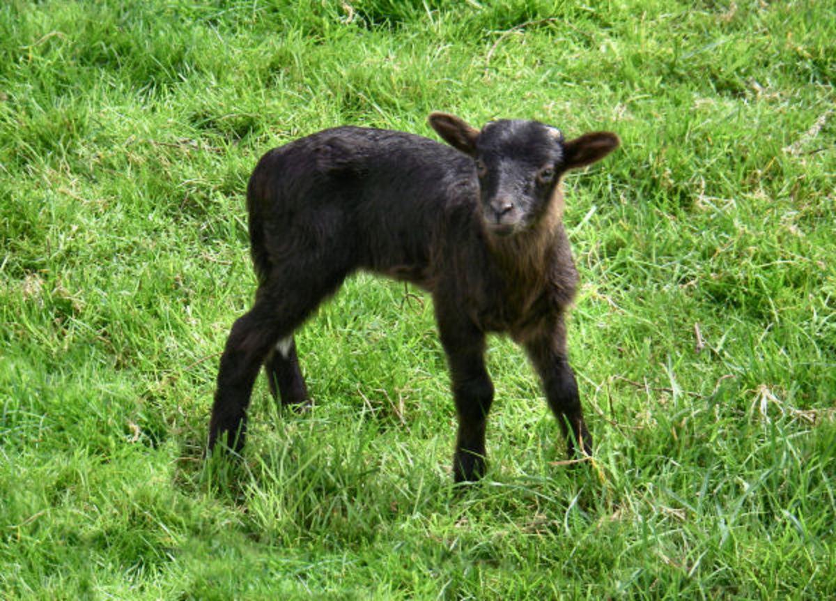 Dark brown lamb Blaze