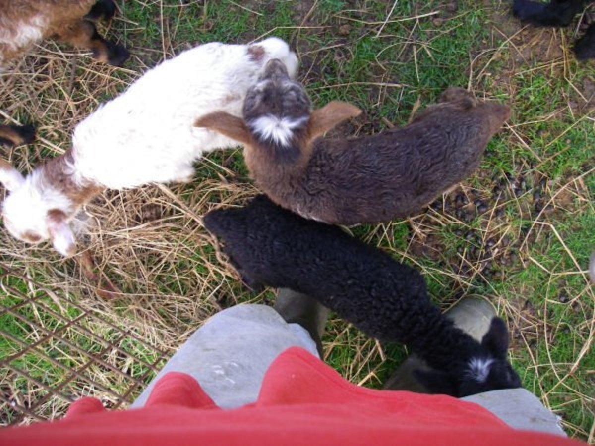 bottle fed lambs