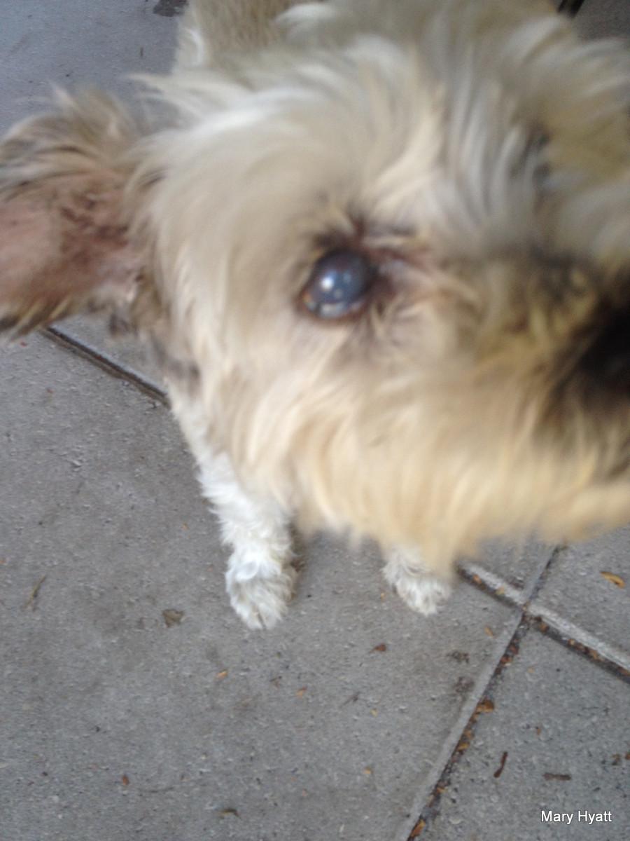 Dog Eye White Part Swollen