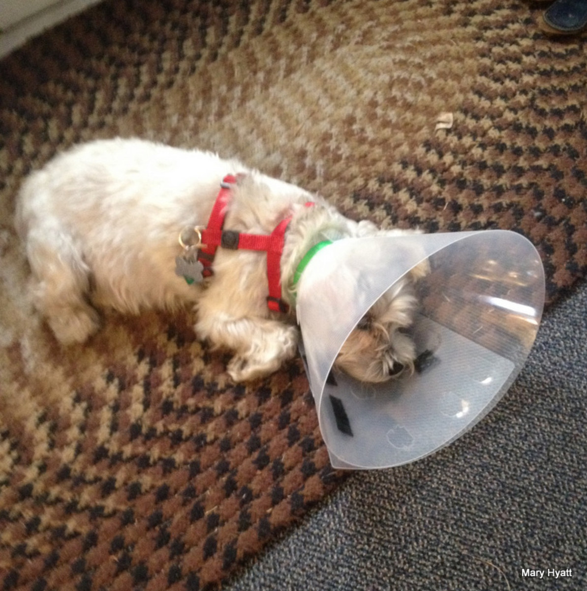 Baby must wear this cone until her checkup in two weeks.  It will protect her eye.