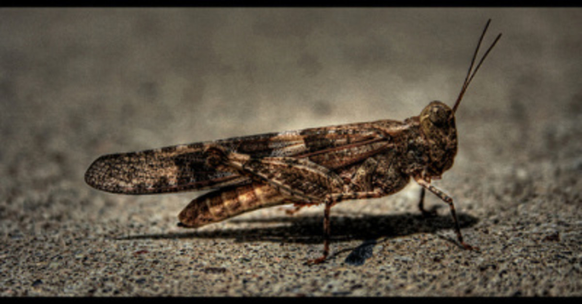 Locusts were used as an image for the impending destruction awaiting the Kingdom of Judah and its capital city Jerusalem.