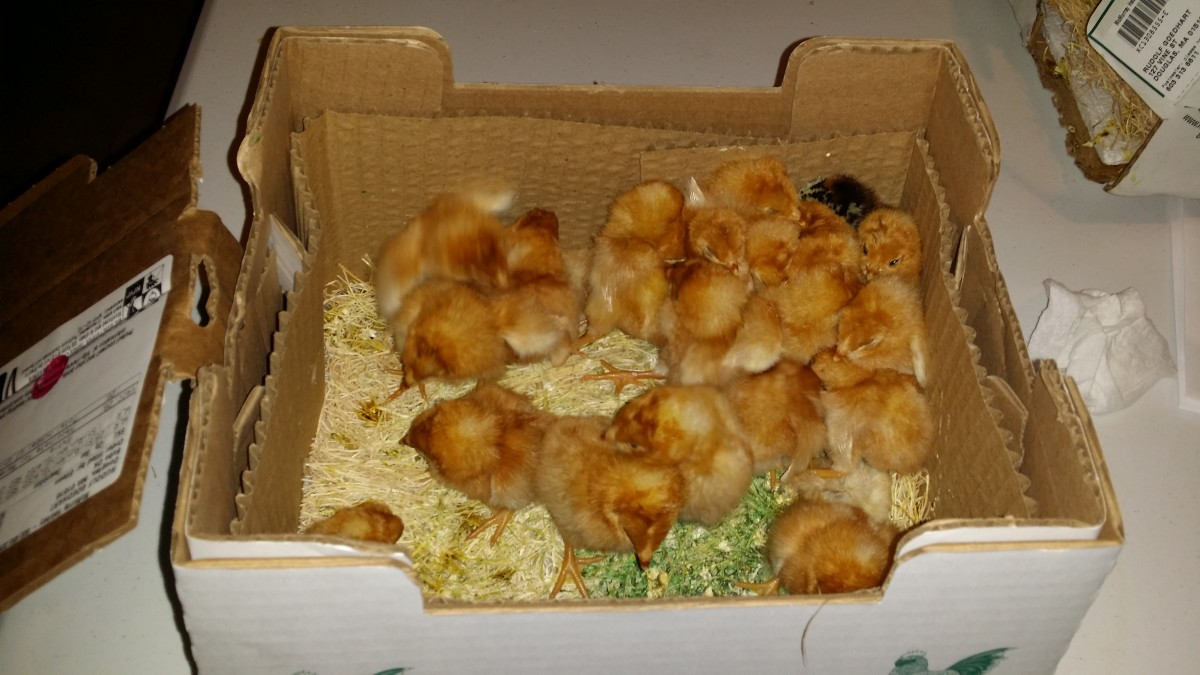 When ordering from a hatchery chicks will arrive in the mail and are usually kept at the post office until pick up.