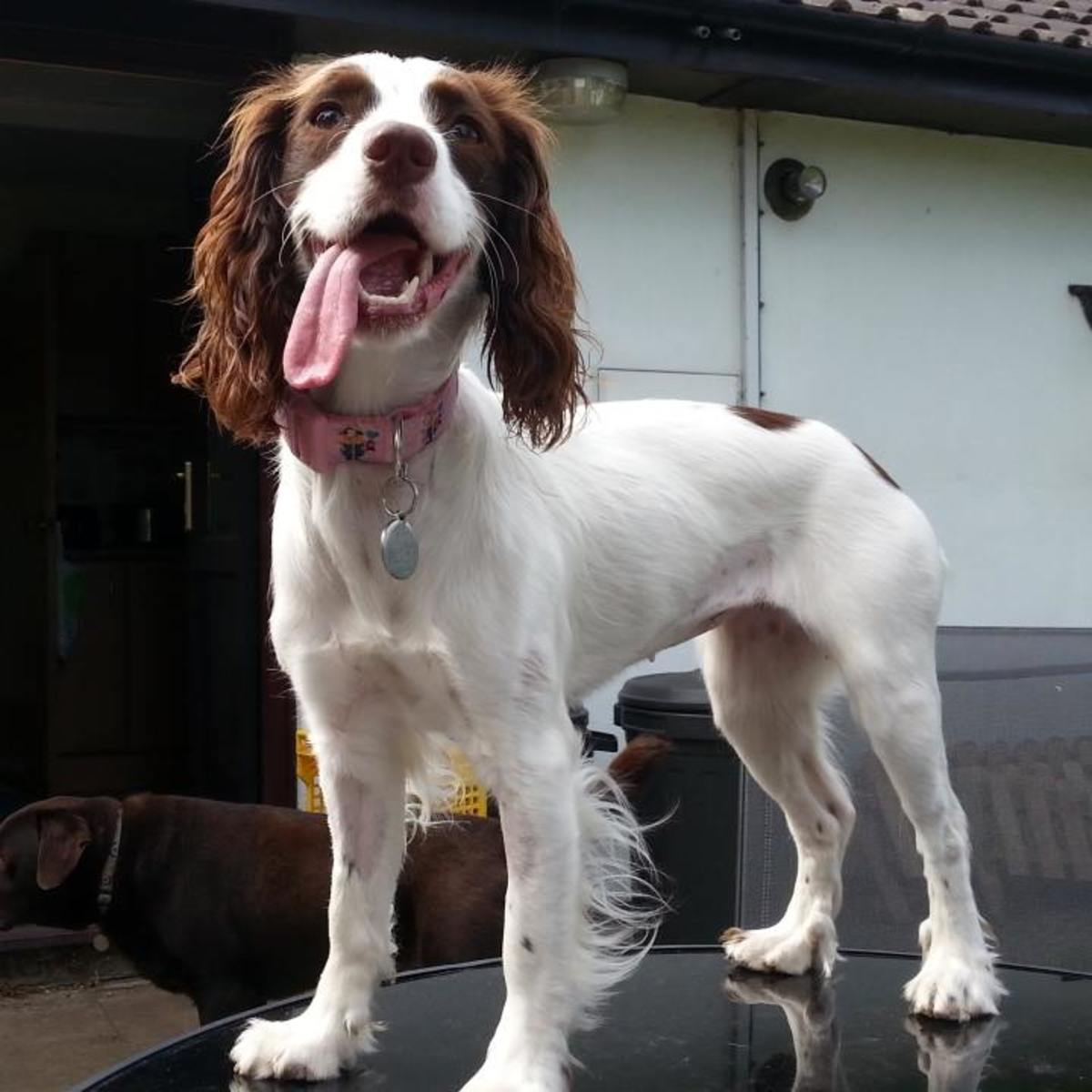 Sparrow, a working cocker spaniel, became ill with intussusception of the bowel in July 2015