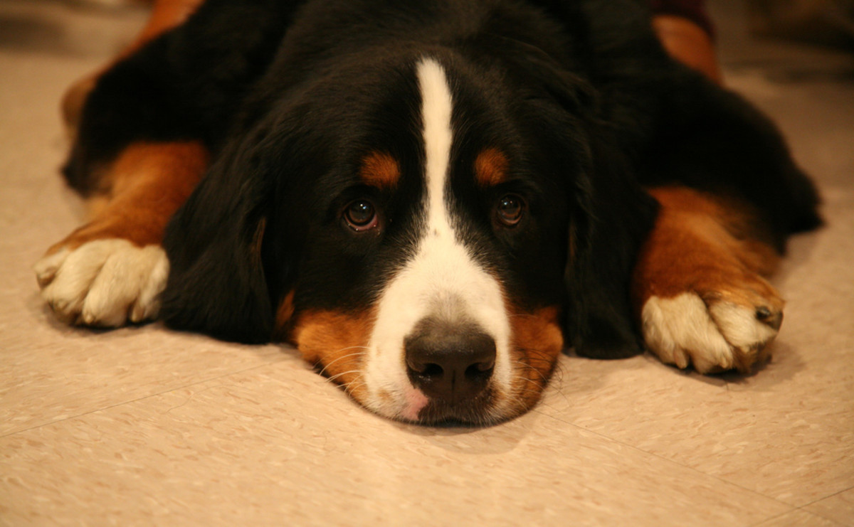 Dogs with intussusception can seem depressed or lethargic