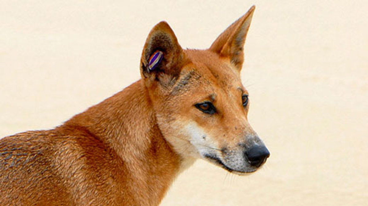 Picture Of a Dingo
