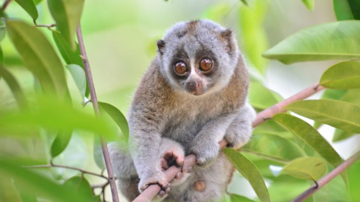 Picture Of A Slow Loris
