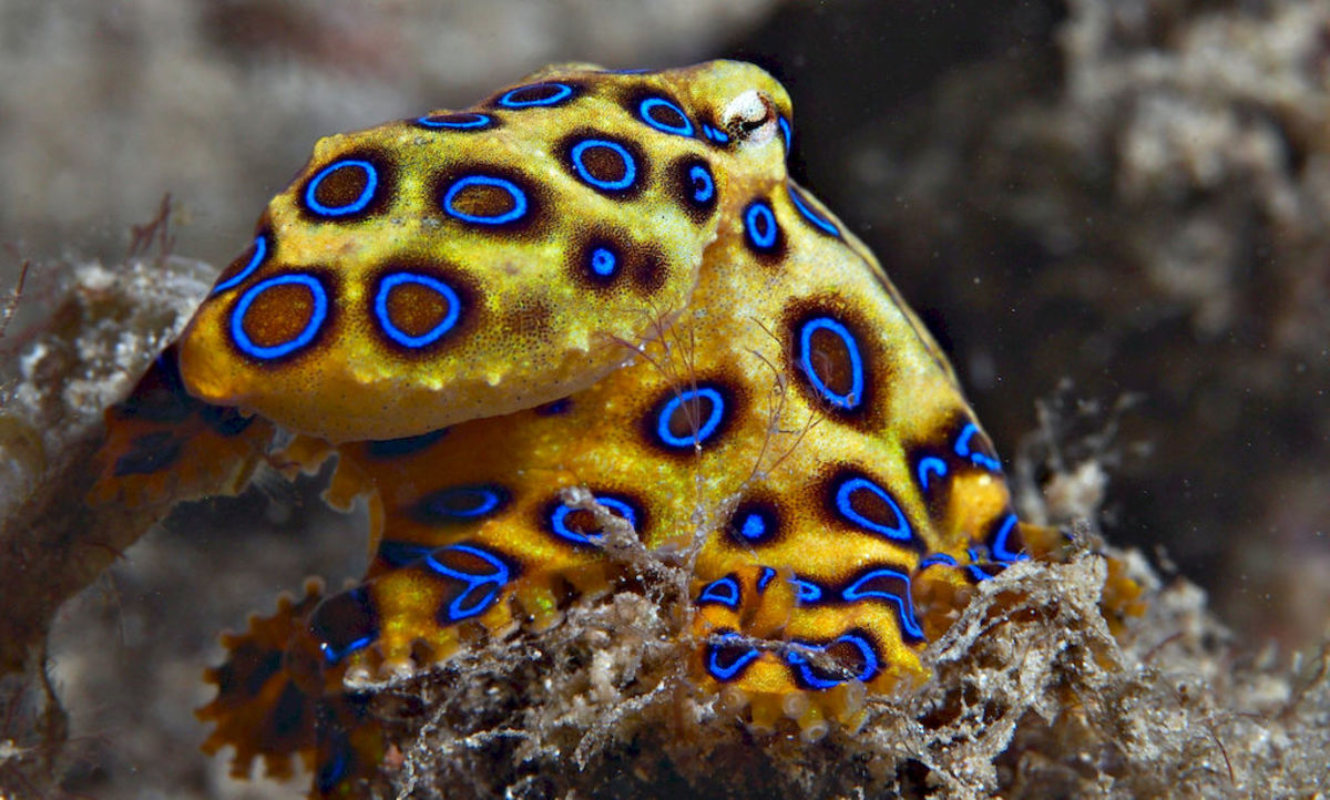 Picture Of A Blue-Ringed Octopus
