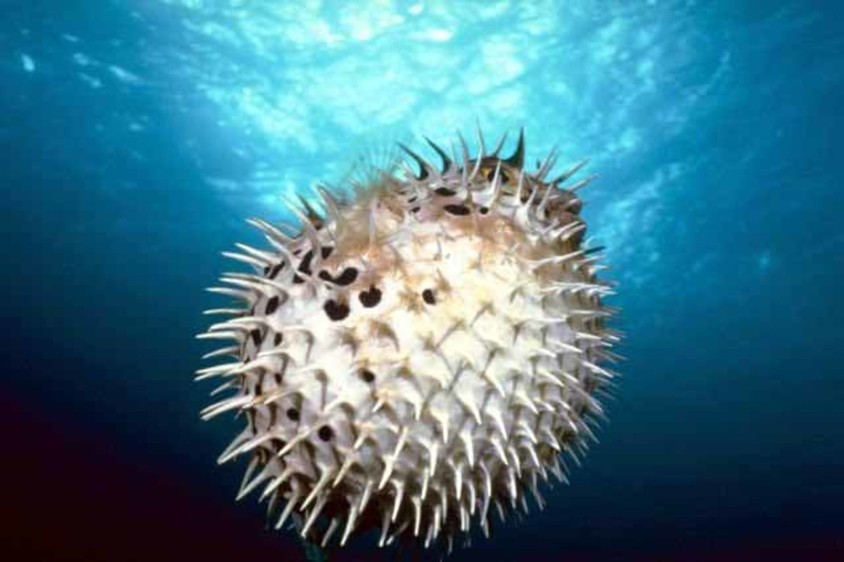 Picture Of A Puffer Fish
