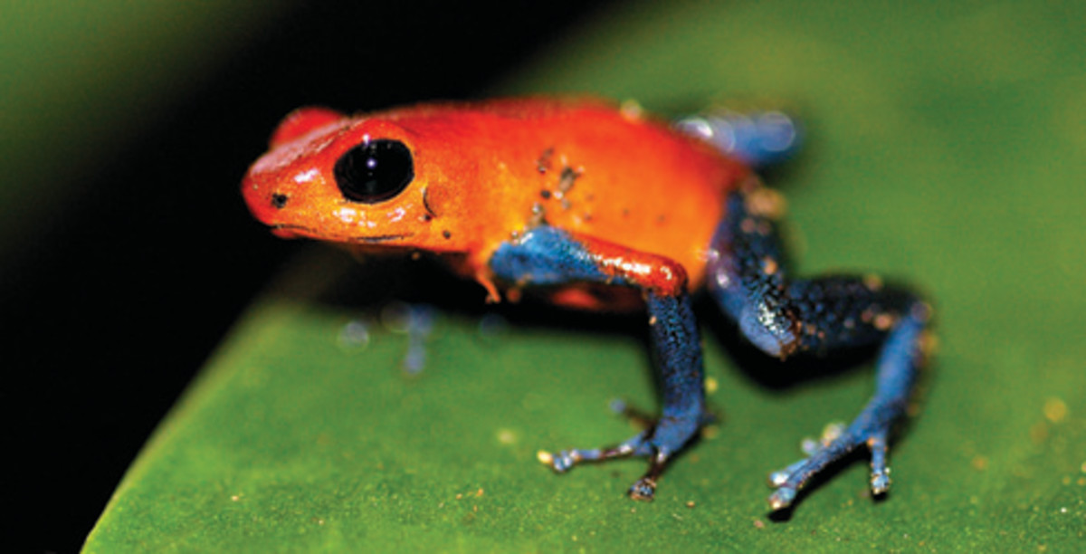 Picture Of A Poison Dart Frog