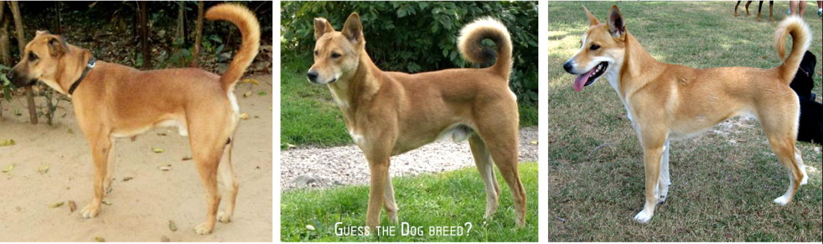 1: INDIAN PARIAH DOG 2: AUSTRALIAN DINGO 3: BASENJI