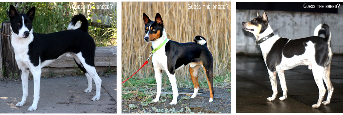 1: CANNON DOG 2: BASENJI 3: PARIAH DOG