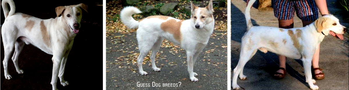 1: Pariah Dog 2: Basenji 3: Cannon Dog