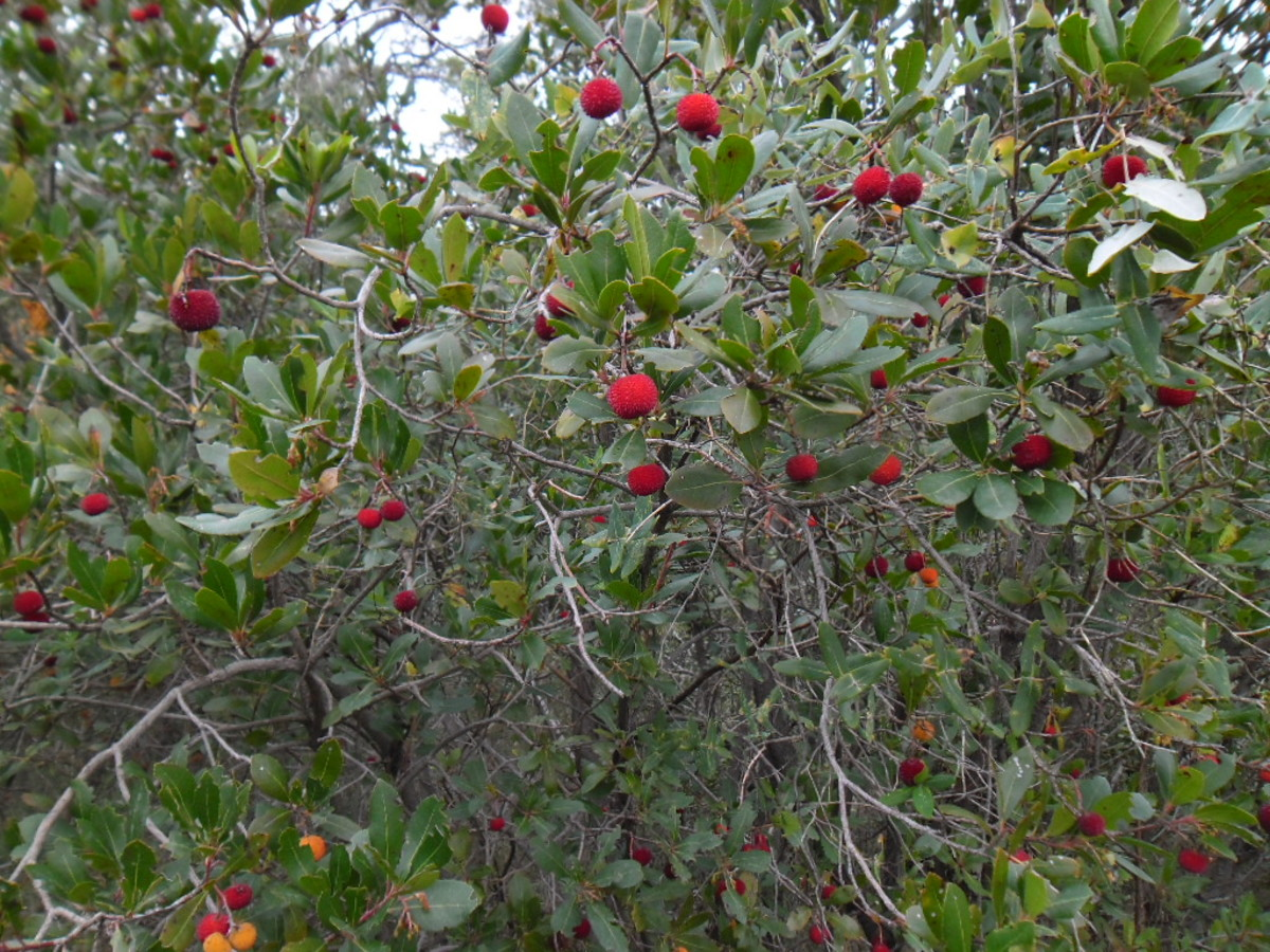 Strawberry Tree with Fruit on Branches