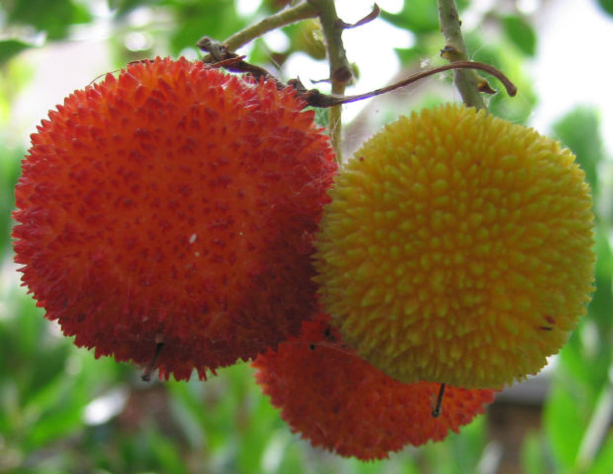 The Fruit of the Strawberry Tree