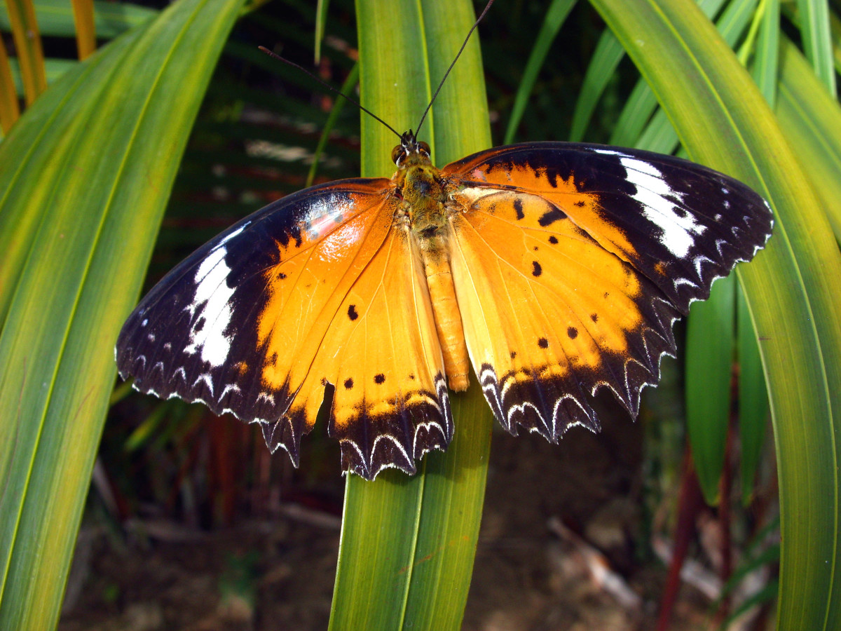 Orange lacewing Butterfly - Typical freely downloadable photo