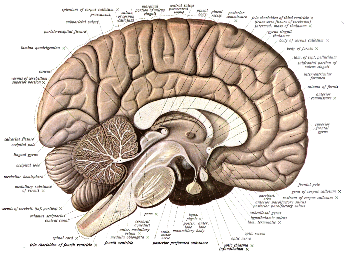 sub-cortical-neurobiological-components-of-human-aggression