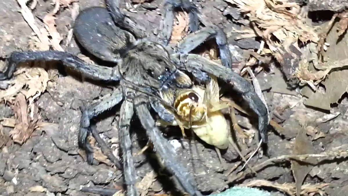 The link above takes you to a nice video of the Carolina wolf spider feeding :)