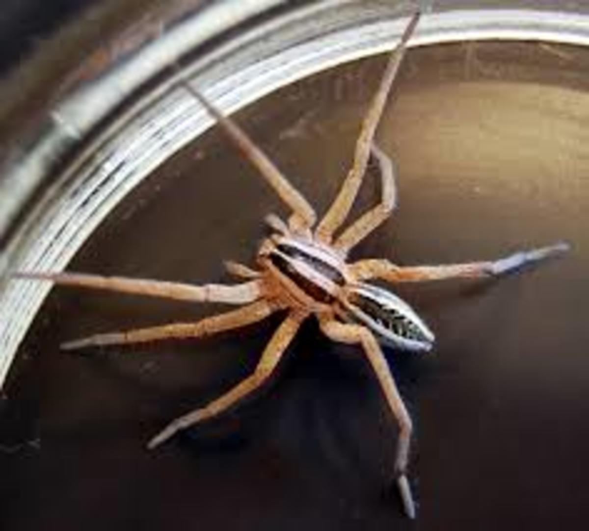 The Wolf Spider, Venomous, but Preys on More Dangerous Spiders