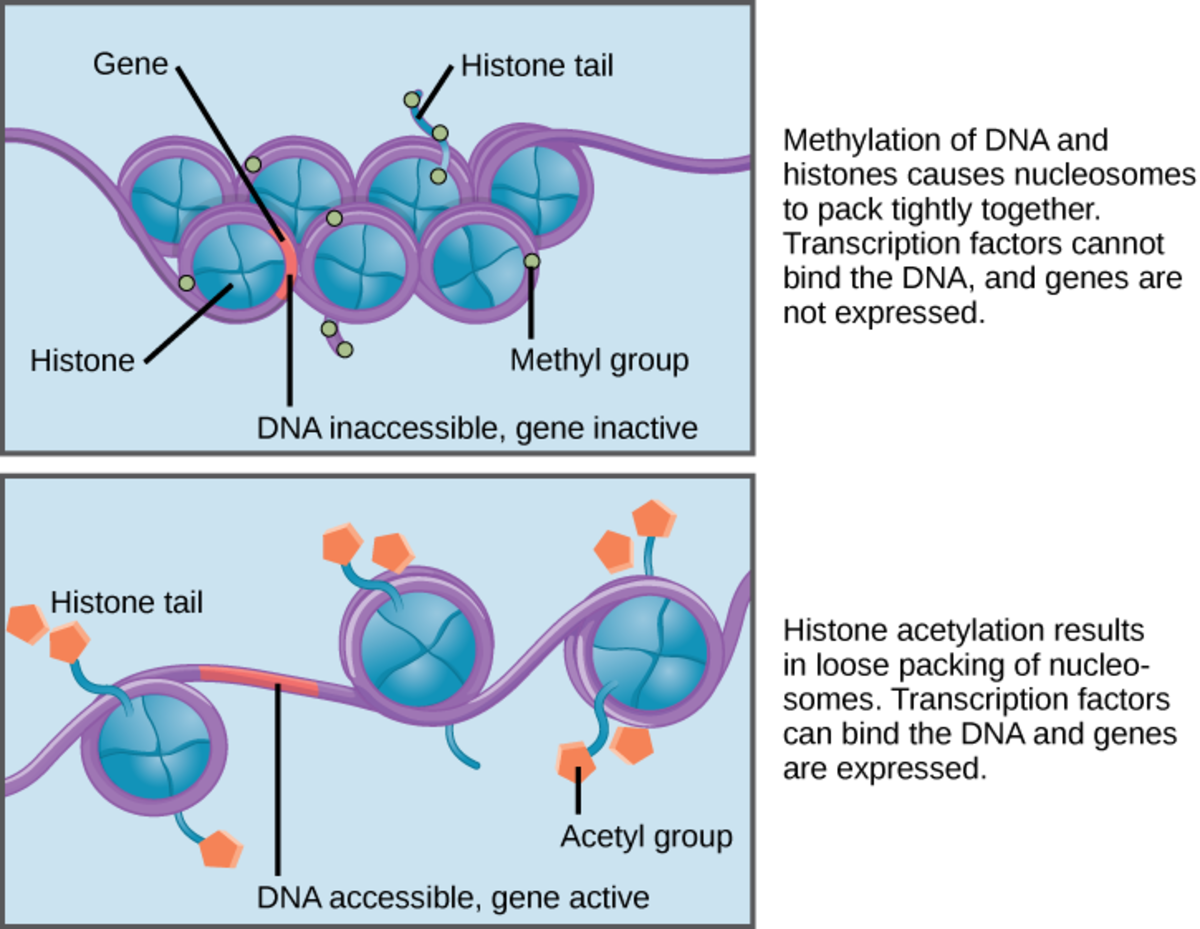 DNA Methylation and Histone Modification