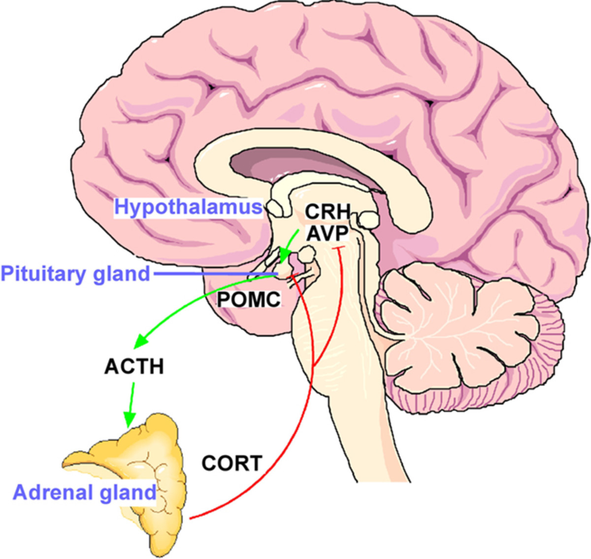 The Hypothalamus- Pituitary- Adrenal gland Axis