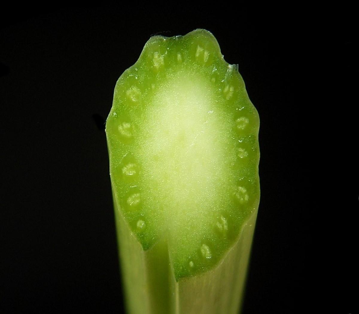 Cross Section Of The Horseradish Petiole (Leaf Stalk)