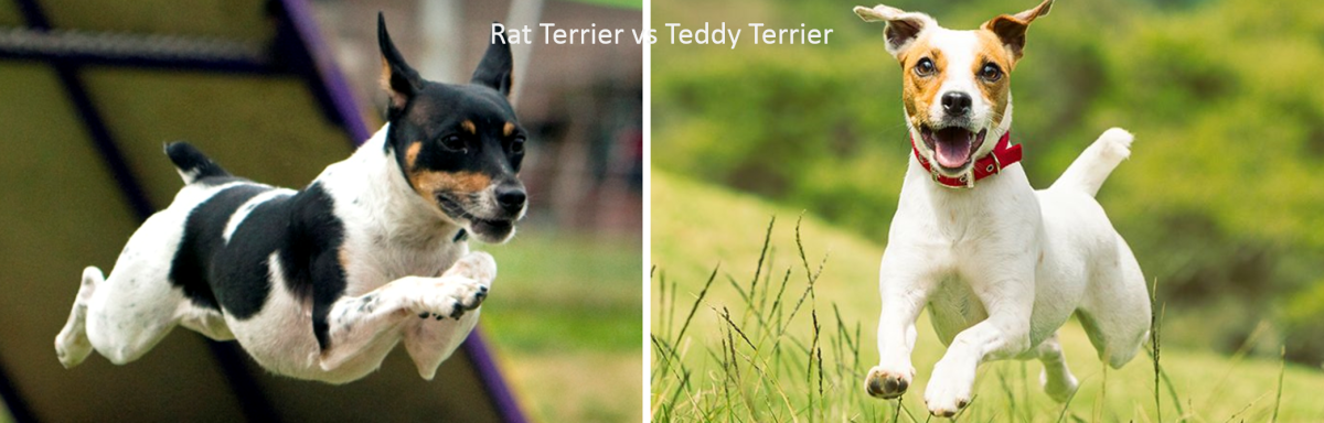 Rat Terrier vs Teddy Terrier