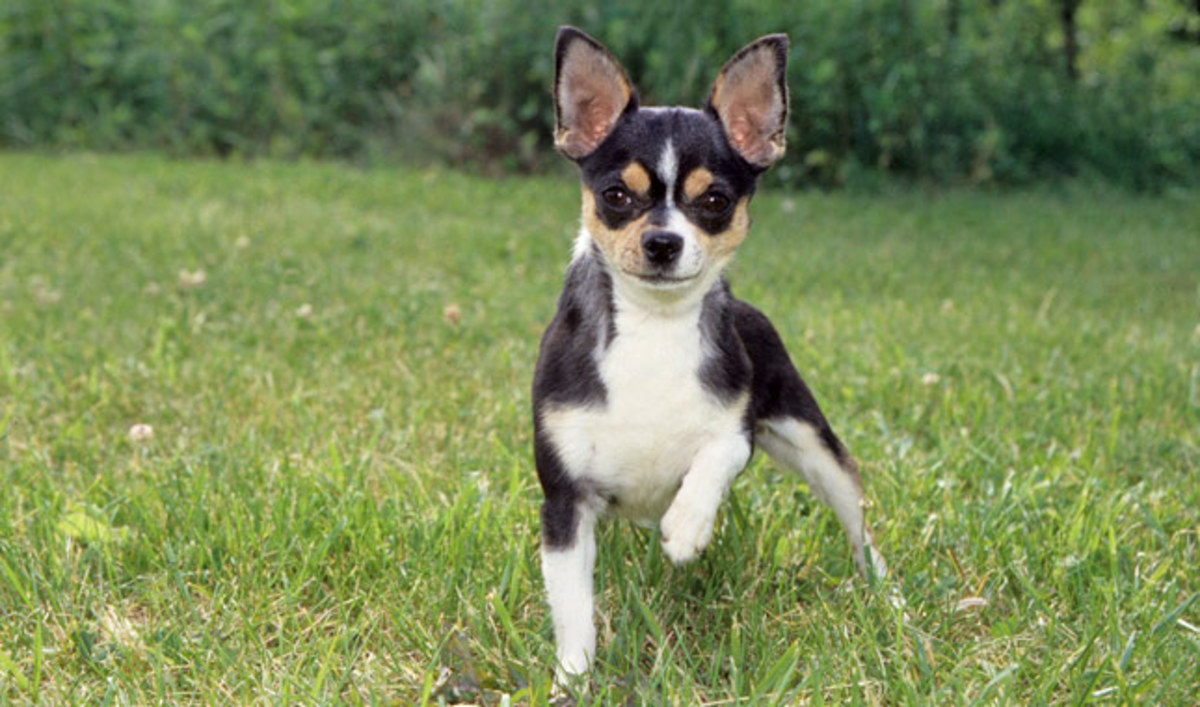 The Short Coated Chihuahua