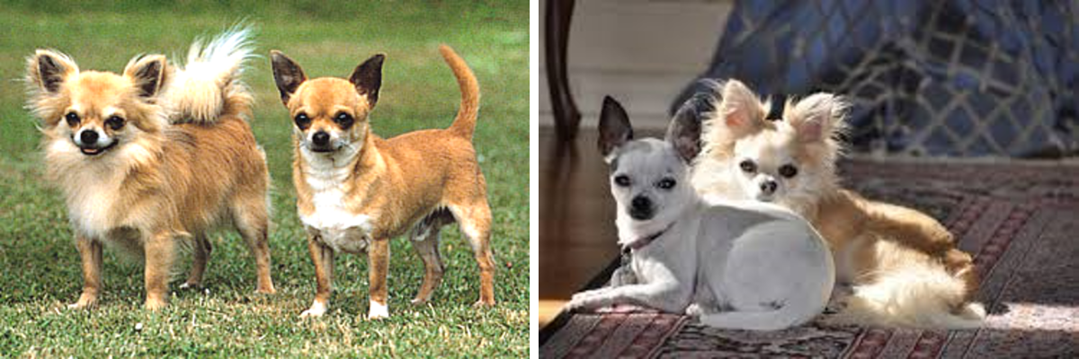 Long and Short Coated Chihuahua