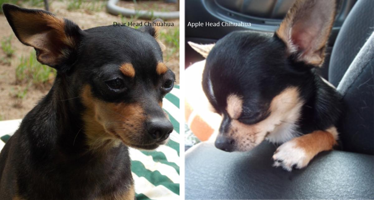 Dear head vs Apple Head Chihuahua