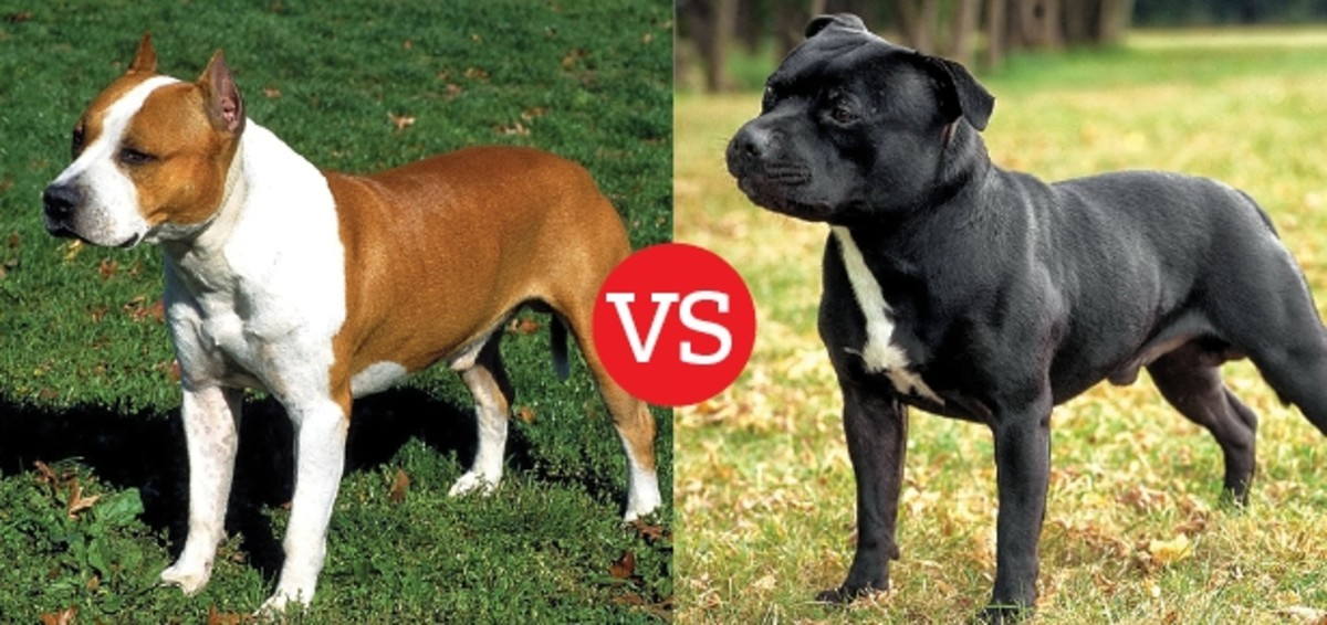 Difference Between the American Staffordshire Terrier and the Staffordshire Bull Terrier