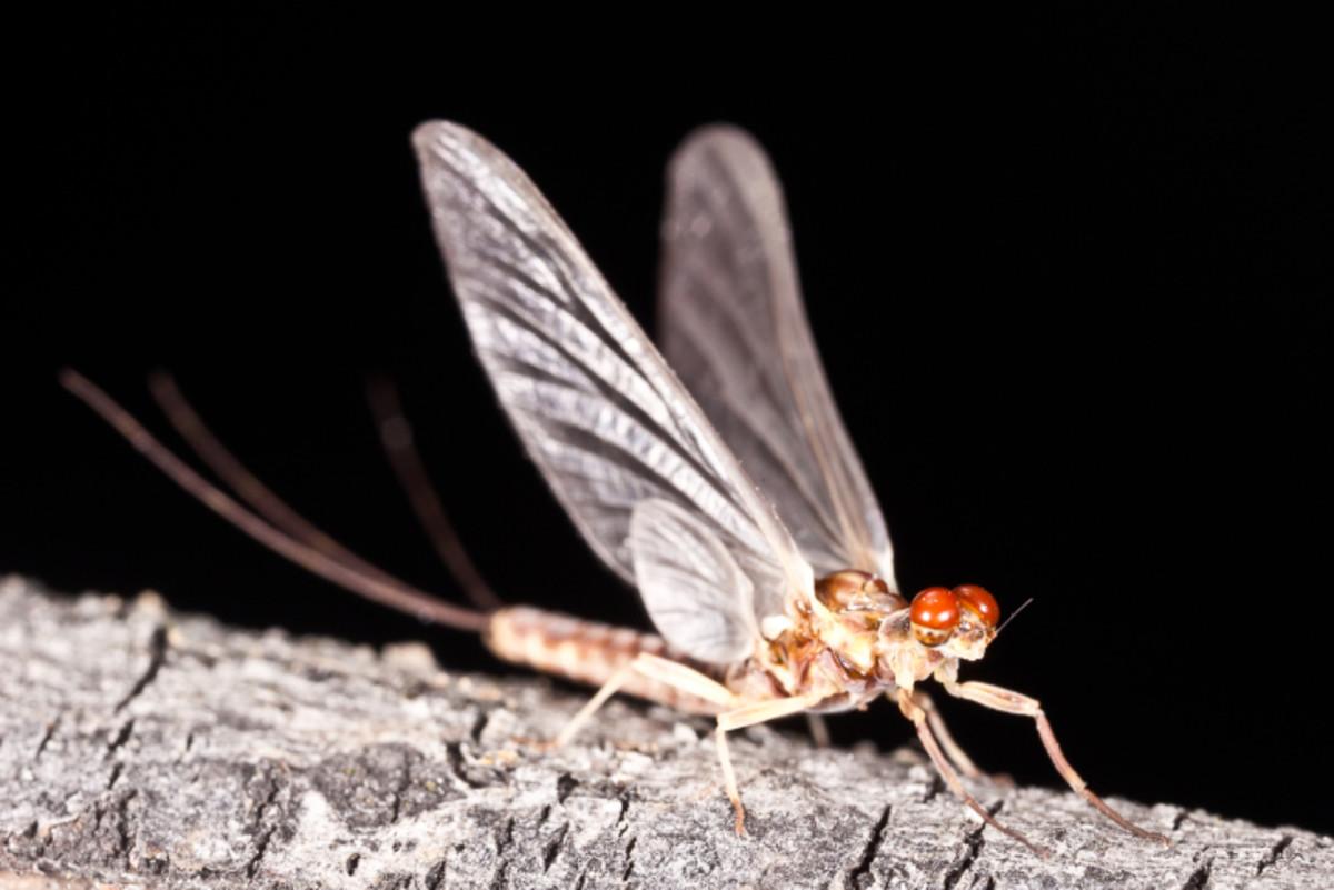 Ephemerella aurivillii mayfly