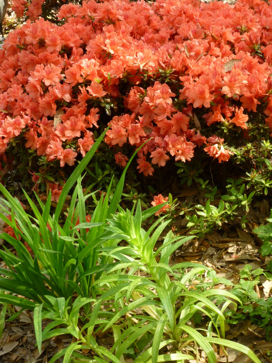 You can see that our Easter lilies are coming up in the foreground with the fashion azaleas in full bloom behind them.