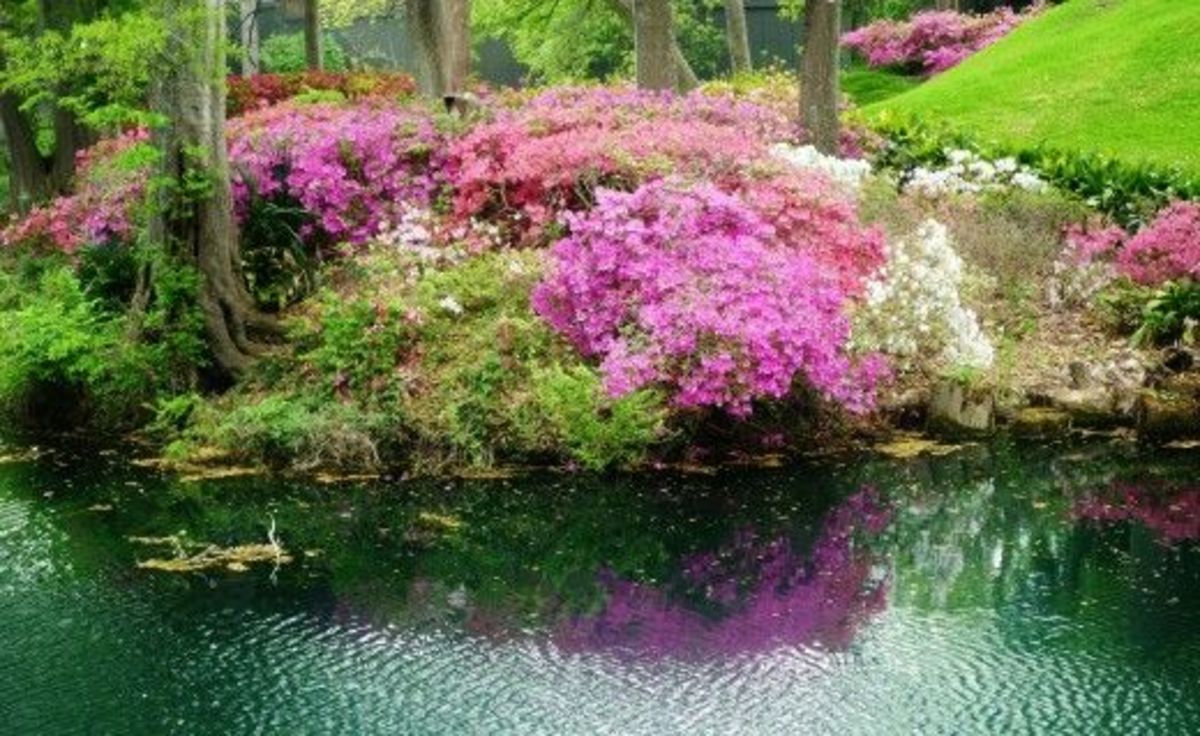 Azalea Plants in Bloom
