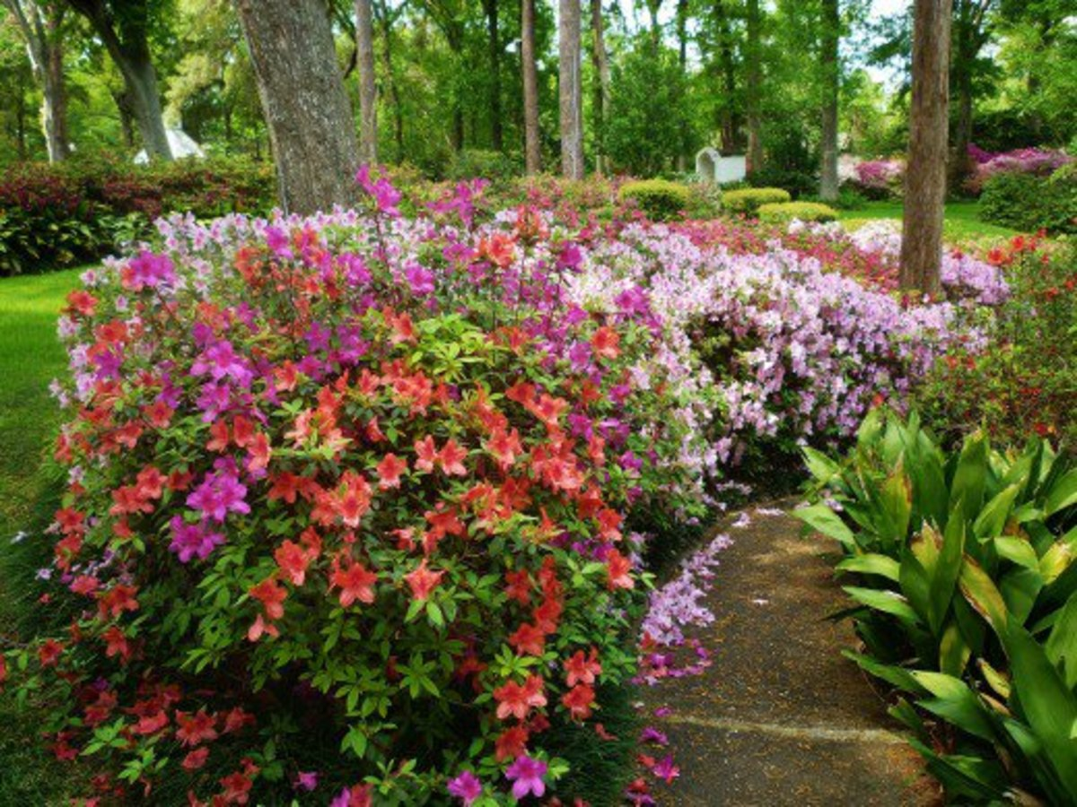 Azalea Shrub Care With Photos And Videos Hubpages