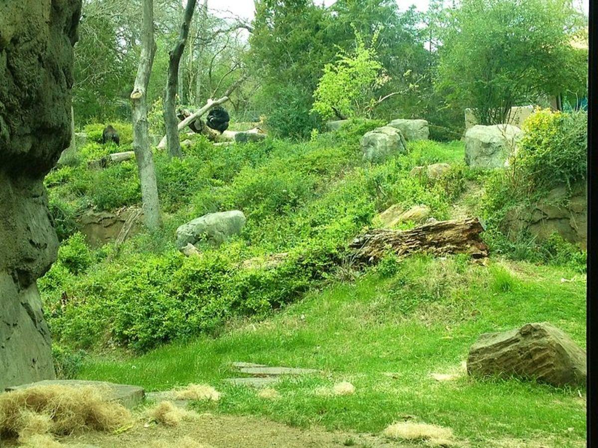 Gorillas In Habitat at Dallas Zoo