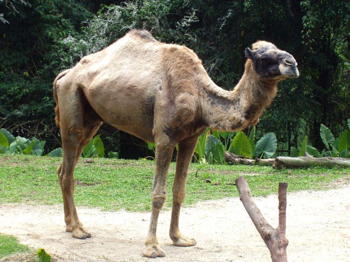 Have you ever ridden a camel?