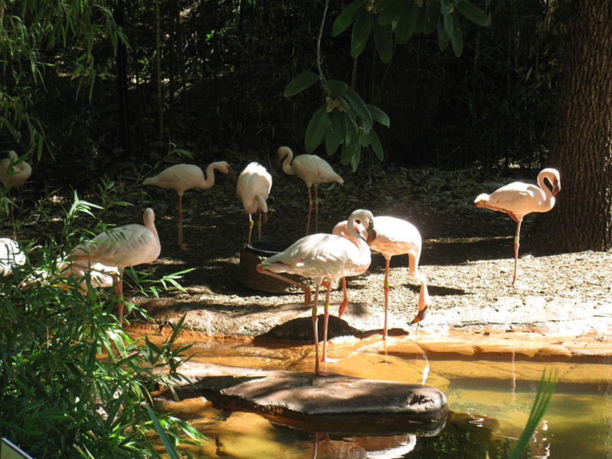 Dallas Zoo Lesser Flamingos