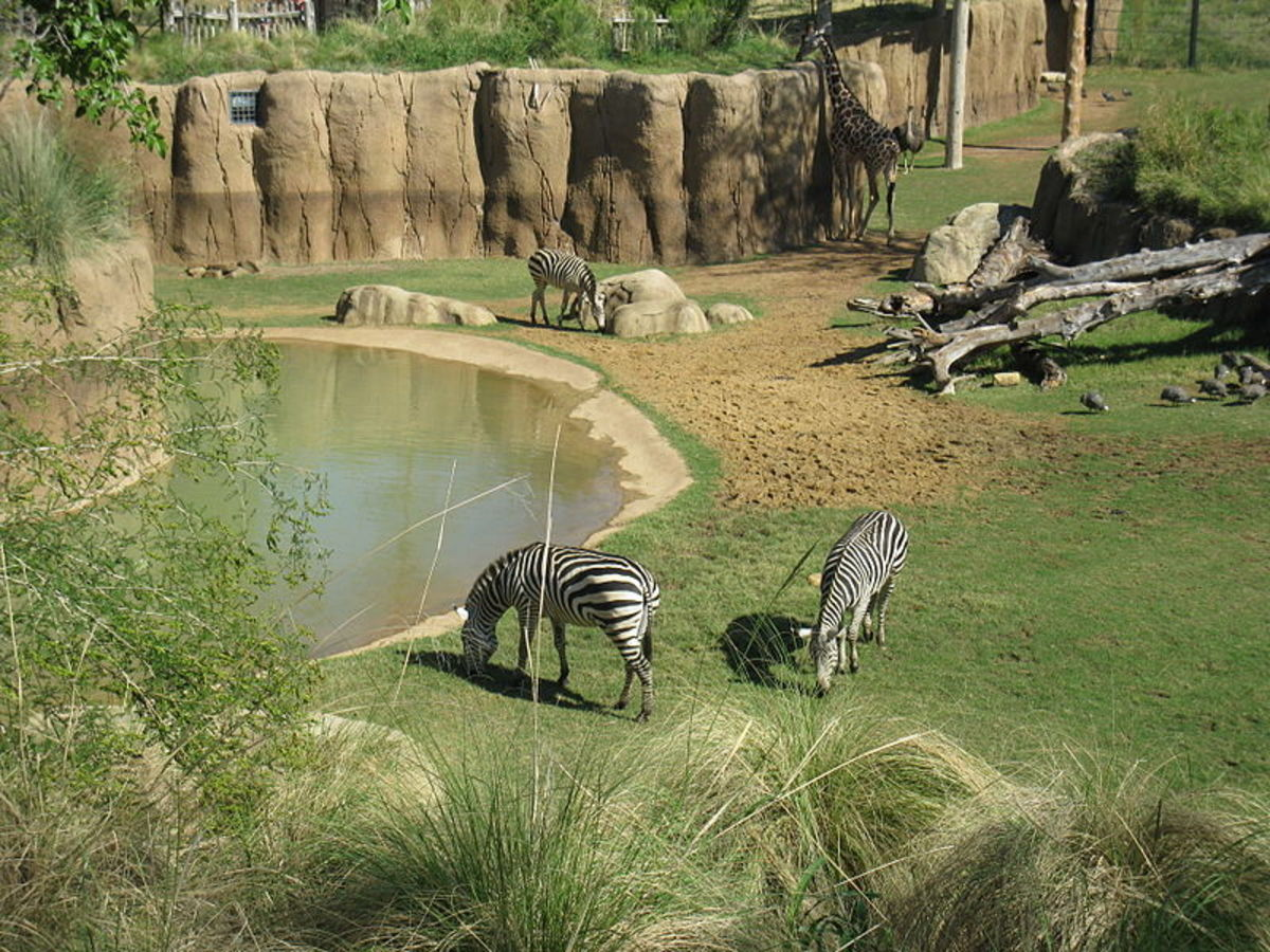 Dallas Zoo Zebras