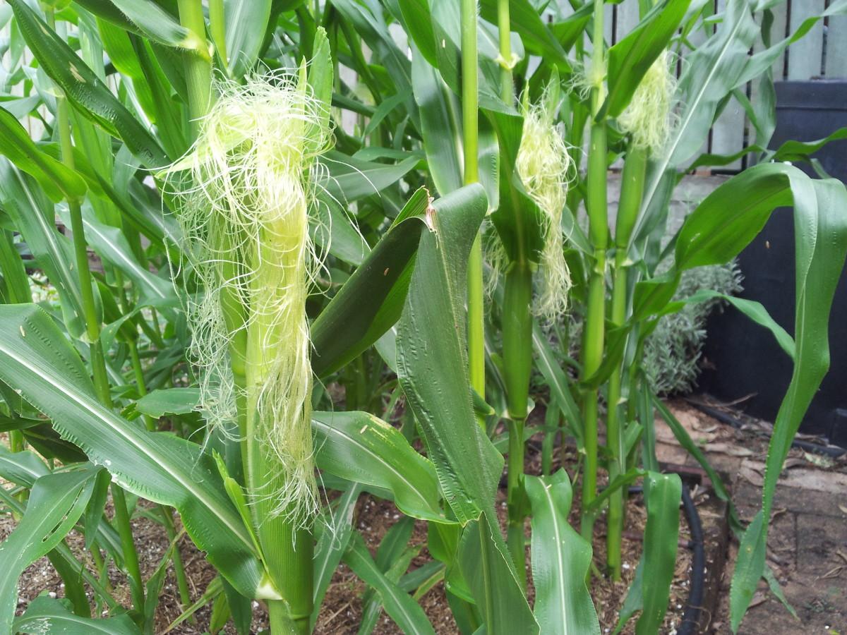 Corn silk / maize hair