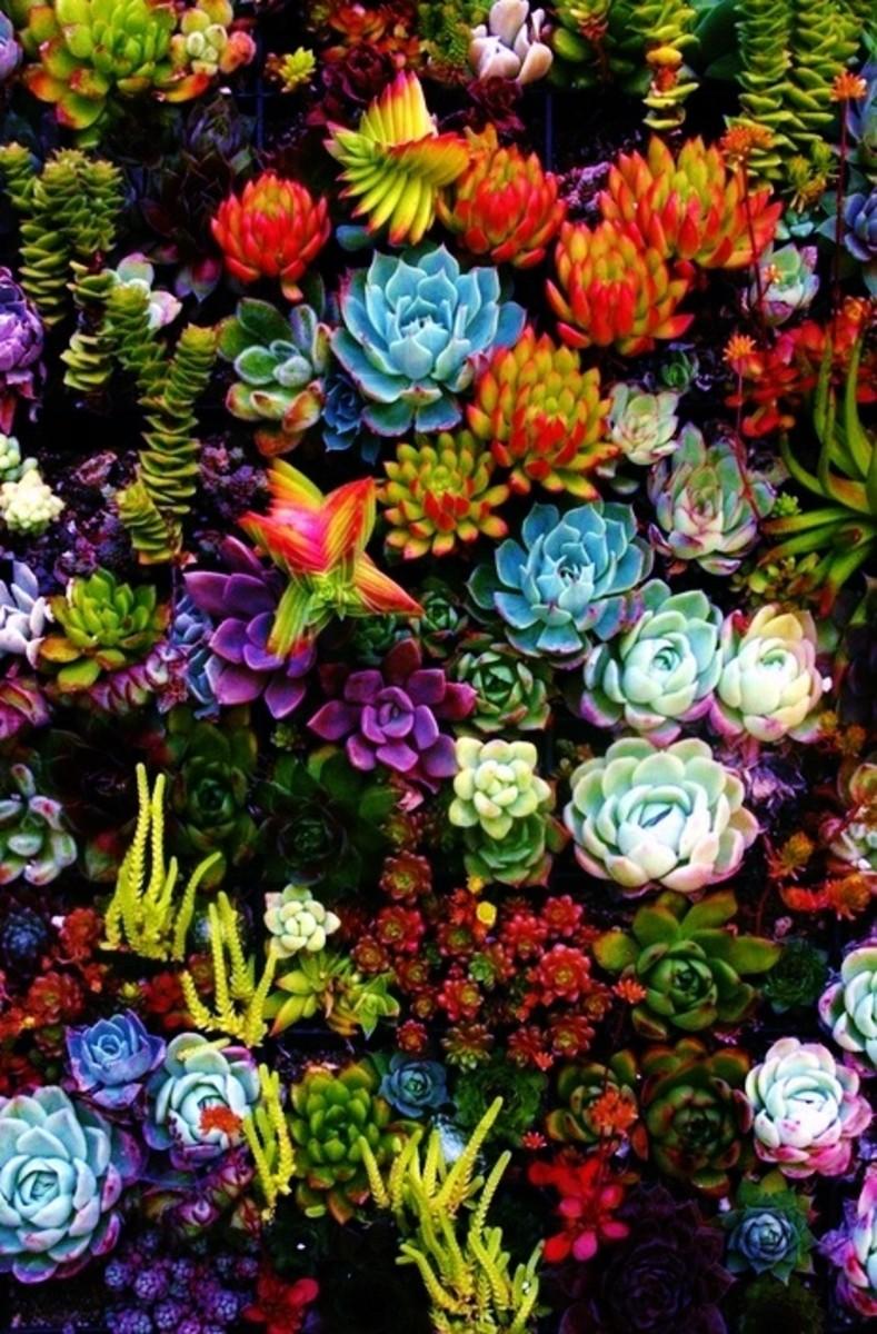 Colorful succulent garden