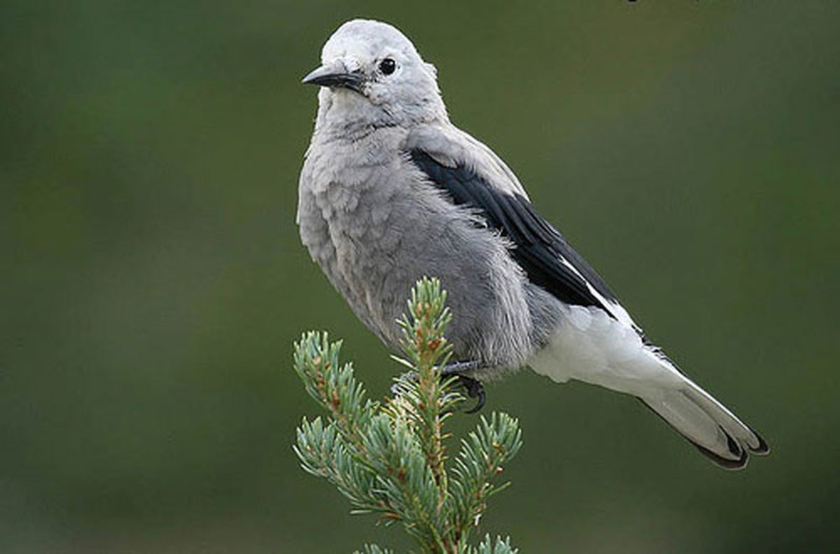 The Clark's Nutcracker is named after Captain Clark, who was an avid student of the natural flora and fauna of North America