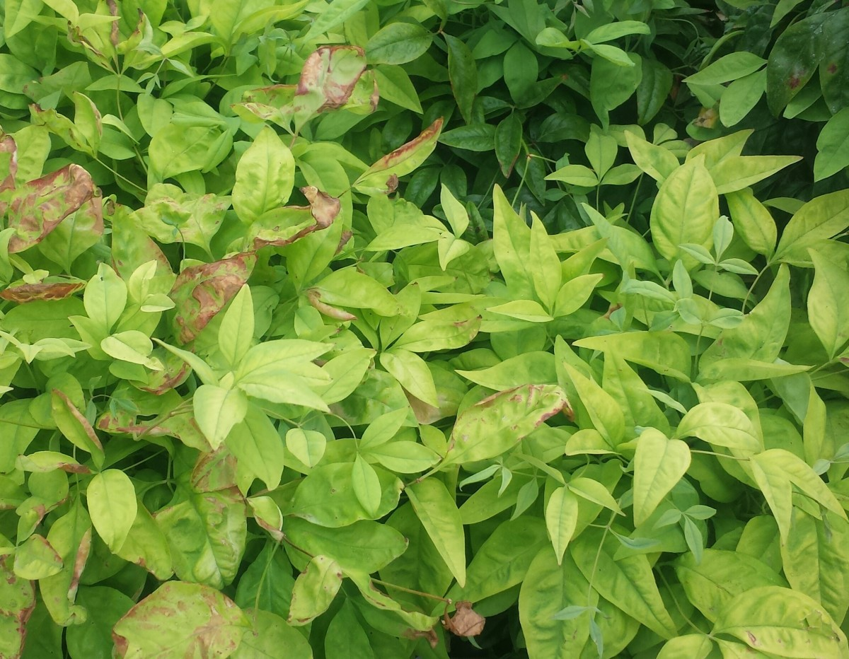 An ornamental broad-leaf evergreen shrub