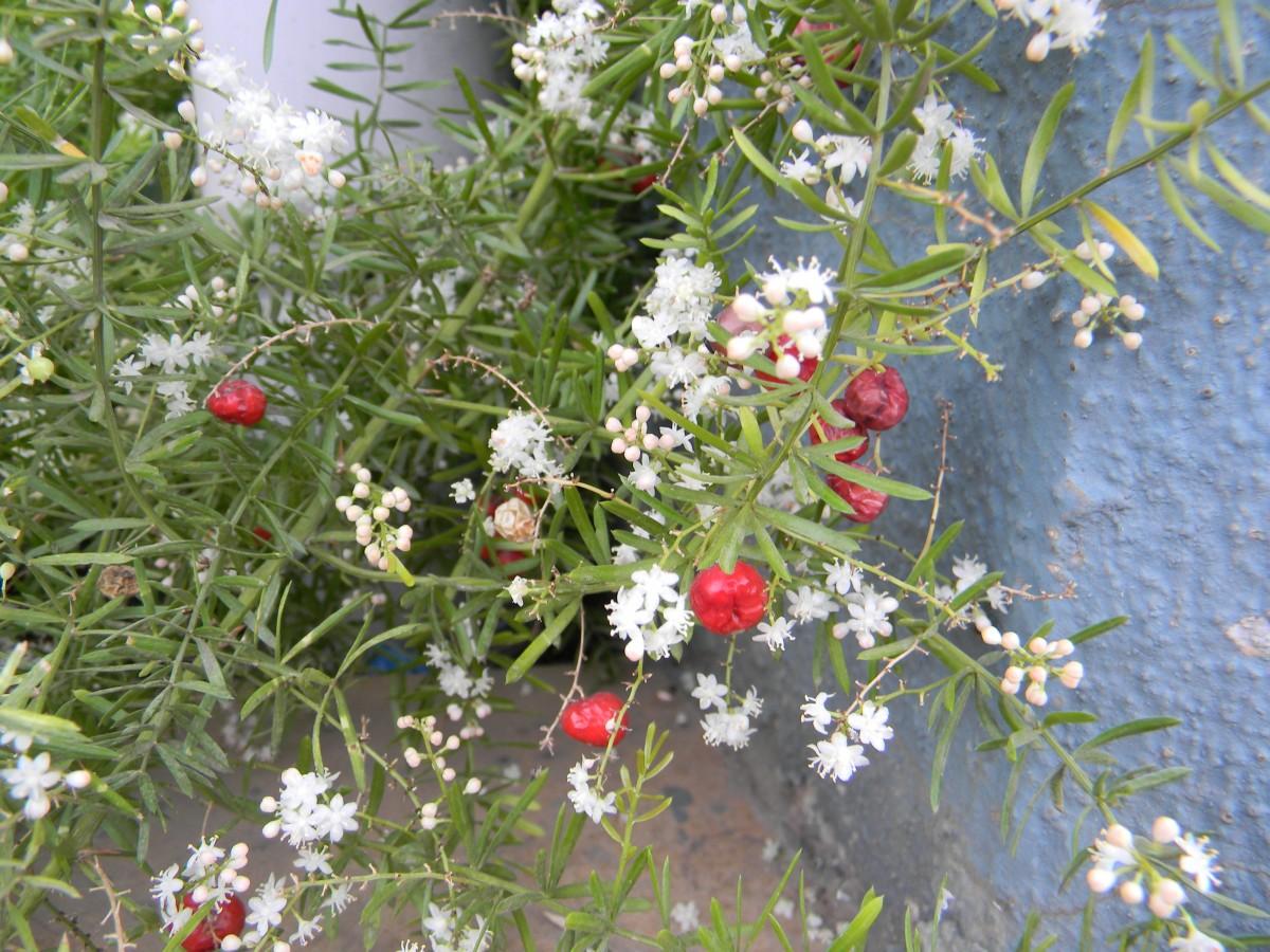 Ayurvedic Herb: Shatavari (Asparagus racemosus) - Nutrition, Health Benefits & Home Remedies