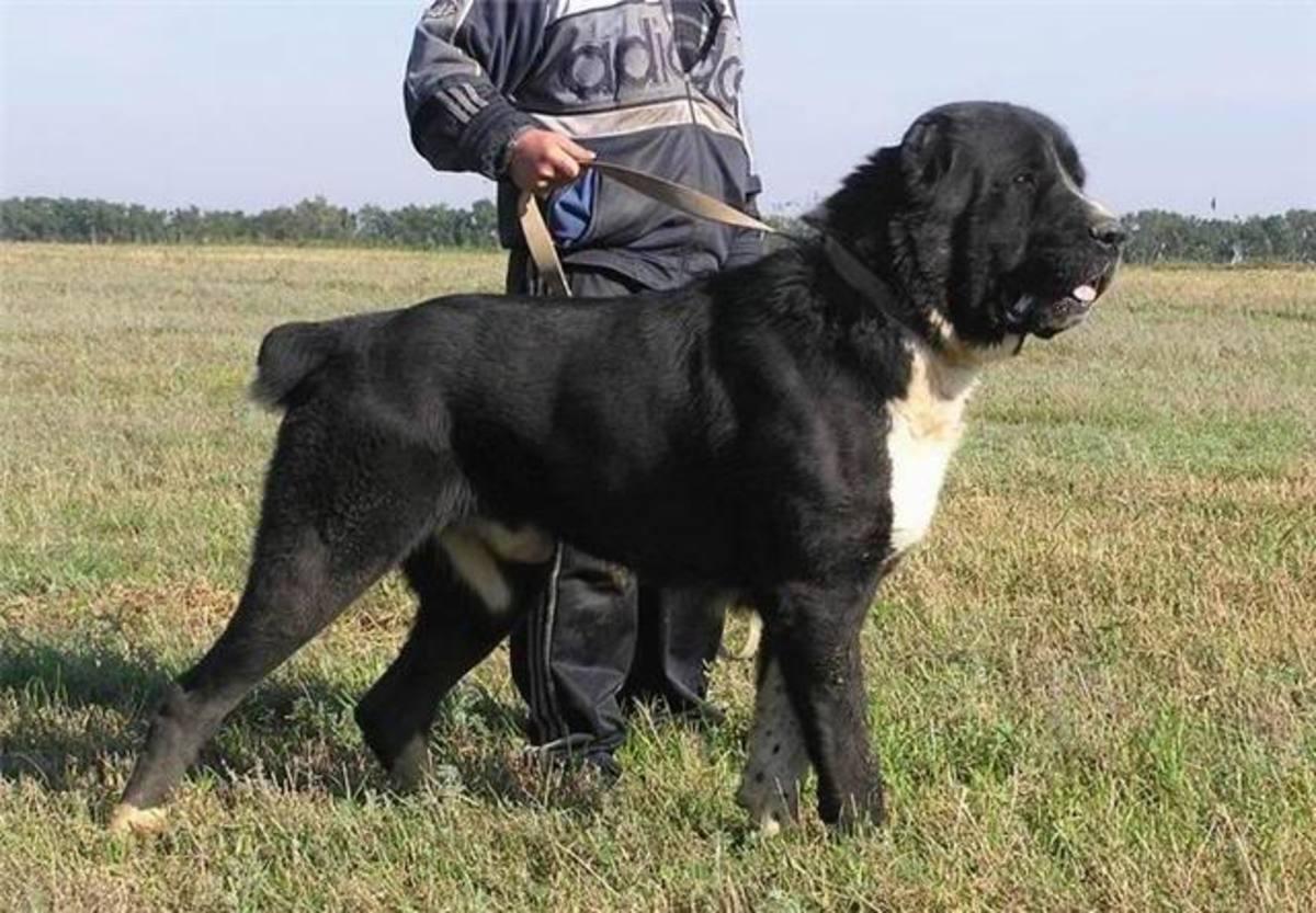 Sarabi Fighter Dog