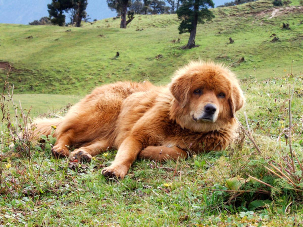Mountain Dog, Garhwal, Himalaya, India