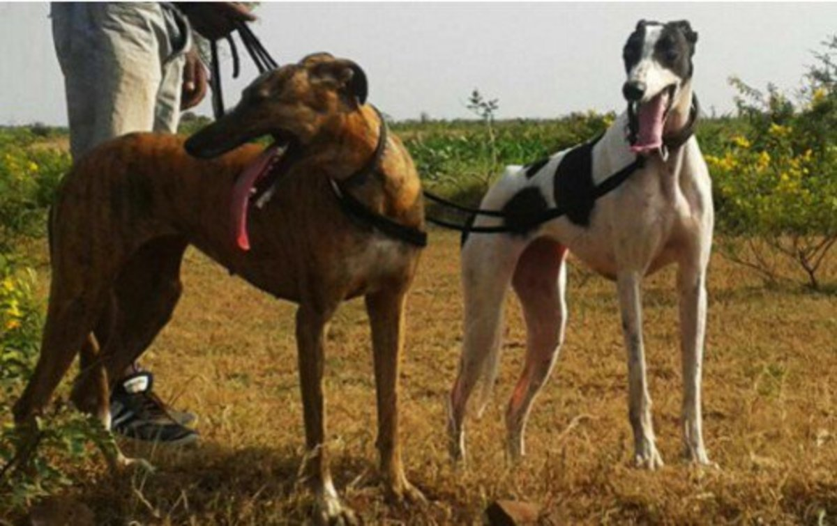 Sarail Hound or Royal Bengal Hound [LEFT] and Caravan Hound [Right]