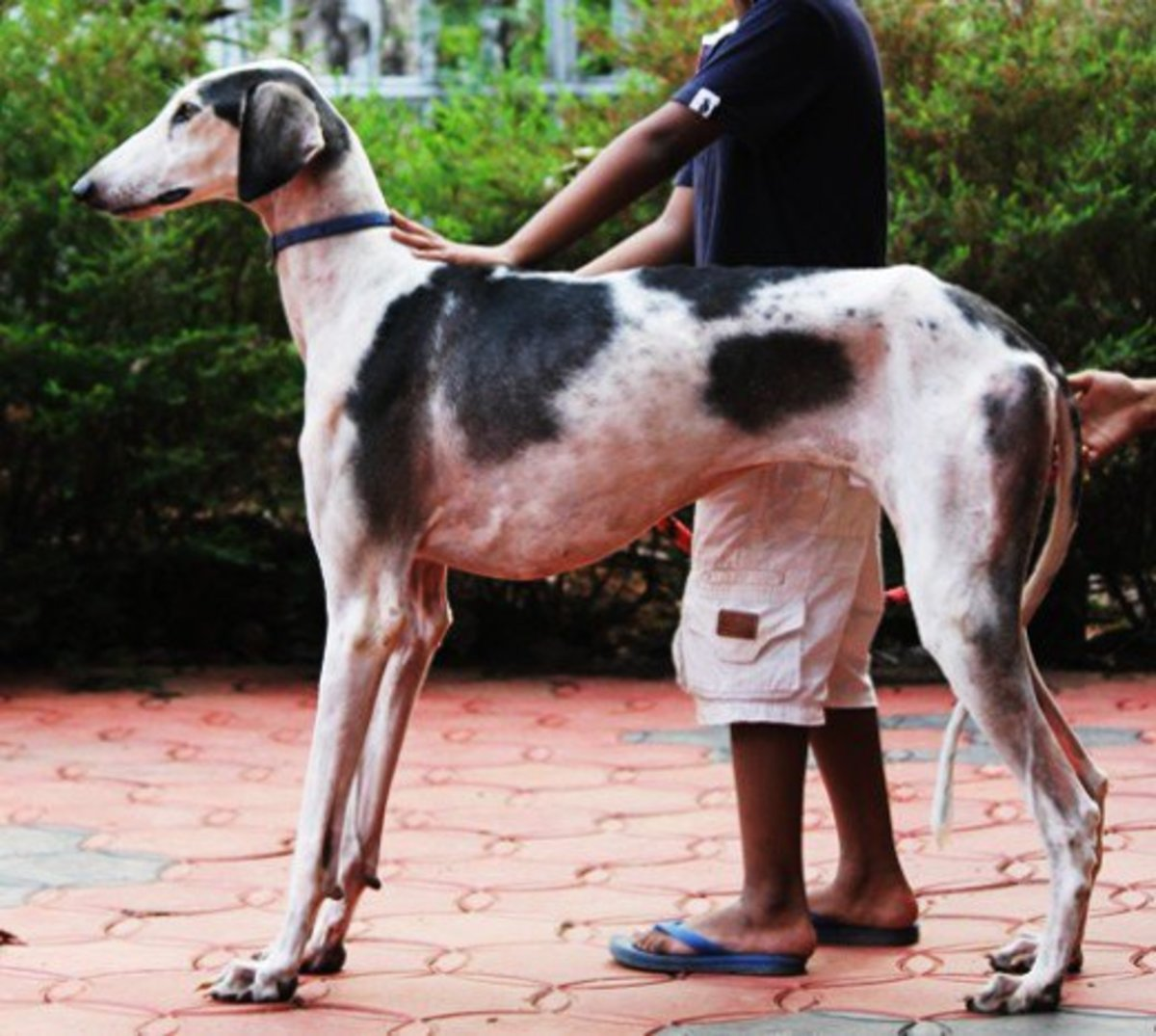 top-10-unrecognized-tallest-dog-breeds-heighten-over-30-inches